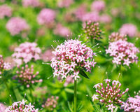 FUOPSIS bloem in aard royalty-vrije stock foto