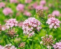 FUOPSIS-blomma i natur Royaltyfri Foto