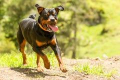 Fuori dal cane di Rottweiler del guinzaglio Fotografia Stock