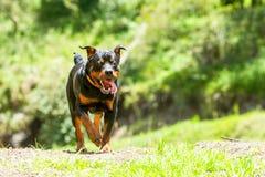 Fuori dal cane di Rottweiler del guinzaglio Fotografia Stock Libera da Diritti