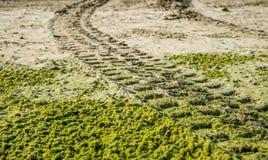 Fuori dalla pista del pneumatico dell'automobile della strada sulla spiaggia sabbiosa con le alghe Immagine Stock