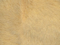 Fur. Skin of wild mammal, textured backgrounds Royalty Free Stock Images
