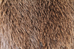Fur. Short haired, shiny fur, skin royalty free stock image
