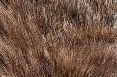 fur animal grey Royalty Free Stock Image