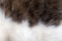 Fur animal grey - white Royalty Free Stock Photography