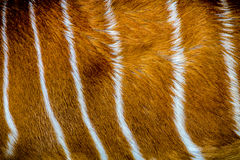 Fur  antelope  texture Royalty Free Stock Photography