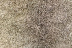 Fur of an Australian green ringtail possum Royalty Free Stock Images