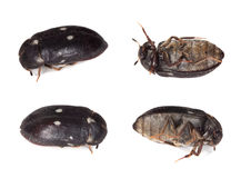 Fur beetle, different positions. Royalty Free Stock Photography