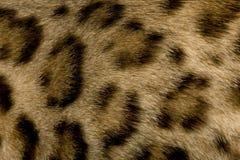 Fur of a Bengal. Close up on Fur of a Bengal Stock Photos
