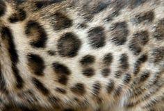 Fur Bengal cat Royalty Free Stock Photography