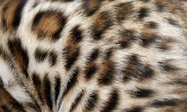 Fur Bengal cat Stock Photos