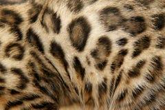 Fur Bengal cat Royalty Free Stock Image