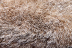 Fur bobcat. Stock Image