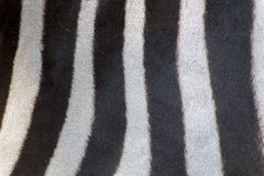 Fur detail of a zebra Stock Photo