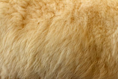 Fur of goats background at the zoo Royalty Free Stock Photos