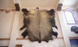 Bear Skin Rug. The fur of a grizzly bear rug is commonly medium to dark brown but in rare cases can have a silver tip or blond color. The long guard hairs often stock photos