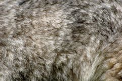 Fur husky Stock Images