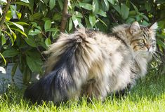 Fur kitten outdoor, brown tabby male of siberian breed. Adorable tabby cat with long hair in a garden,siberian pet in a farm. Purebred hypoallergenic Royalty Free Stock Photos