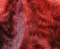 The fur is red karakul lambskin texture, background. The fur is red karakul lambskin texture Stock Photography