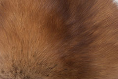 Fur sable Royalty Free Stock Photography
