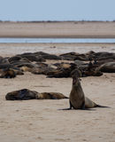 Fur sea lion calling Stock Image