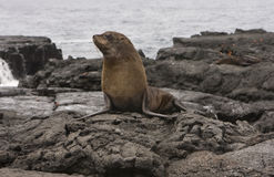 Fur Sea lion on the Galapagos Islands Stock Photography