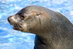 Fur seal 1. Nice and dangerous fur seal lives in zoo Royalty Free Stock Photo