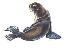 Fur Seal. Hand drawing watercolor Royalty Free Stock Images