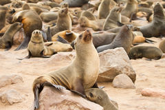 Fur seal. Cape fur seal colony, Cape Cross, Namibia Royalty Free Stock Photography