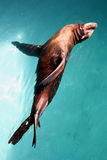 Fur seal Stock Images