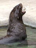 Fur seal 2 Stock Photo