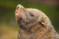 Fur Seal. Portrait of a sleepy Fur Seal Stock Image