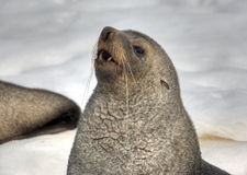 Fur-seal. Antarctica, a portrait of fur-seal against the white snow Stock Image