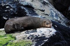 Fur Seal Stock Photography