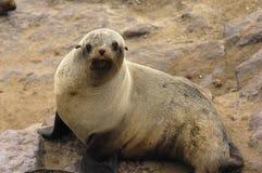 Fur seal. Close up a Fur seal Stock Photos