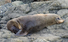 Fur Seal Royalty Free Stock Photo