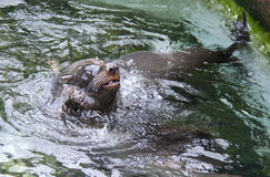 Fur Seal Royalty Free Stock Photos