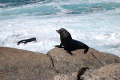 Fur Seal Royalty Free Stock Photo