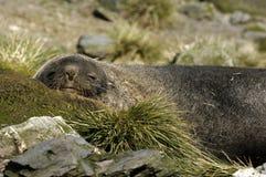 Fur Seal Stock Images