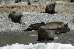 Fur Seal Royalty Free Stock Images