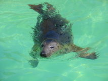 Fur seal. Swimming fur seal stock images