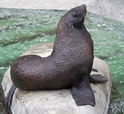 Fur seal 4 Royalty Free Stock Images