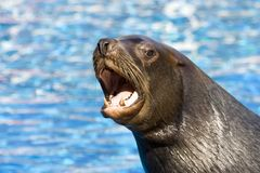 Fur seal 6. Nice and dangerous fur seal lives in zoo Stock Image