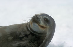 Fur seal. In Antarctica bay stock photography