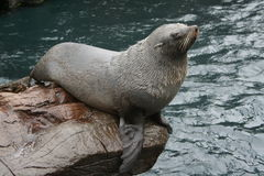 Fur Seal. A fur seal relaxes on a rock stock photos