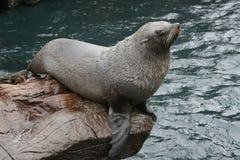 Fur Seal Stock Photos