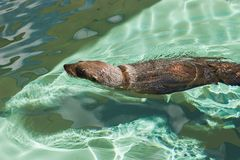 Fur Seal. Common Southern Fur Seal Stock Photography