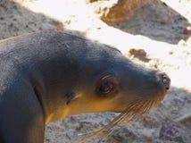 Fur Seal. A sad looking fur seal Royalty Free Stock Photography