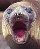 Fur seal. Song of fur seal  in Antarctica Stock Image