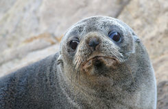 Fur Seal (Arctocephalus forsteri) Royalty Free Stock Photography